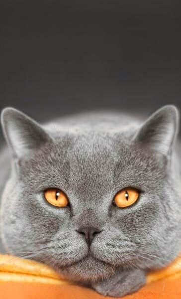 Gato tom de cinza