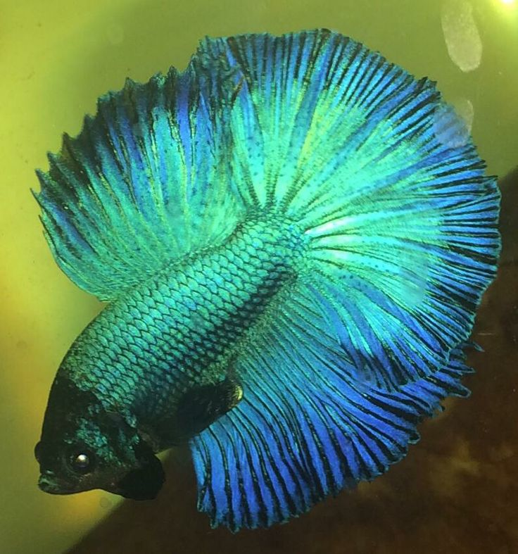 1000 images about betta fish on pinterest betta tank for Can betta fish live with other fish