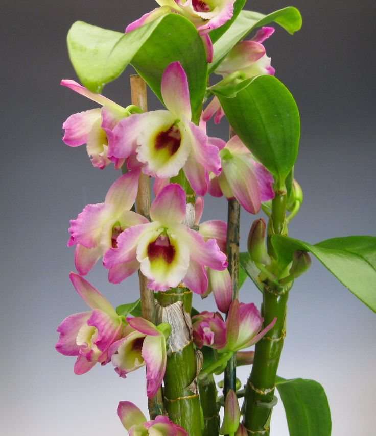 Dendrobium Nobile Orchids Types | ... the type lindley section dendrobium bloom and related species