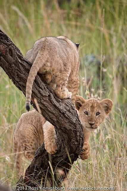 Lion cubs. Photo   Ross Konigsburg