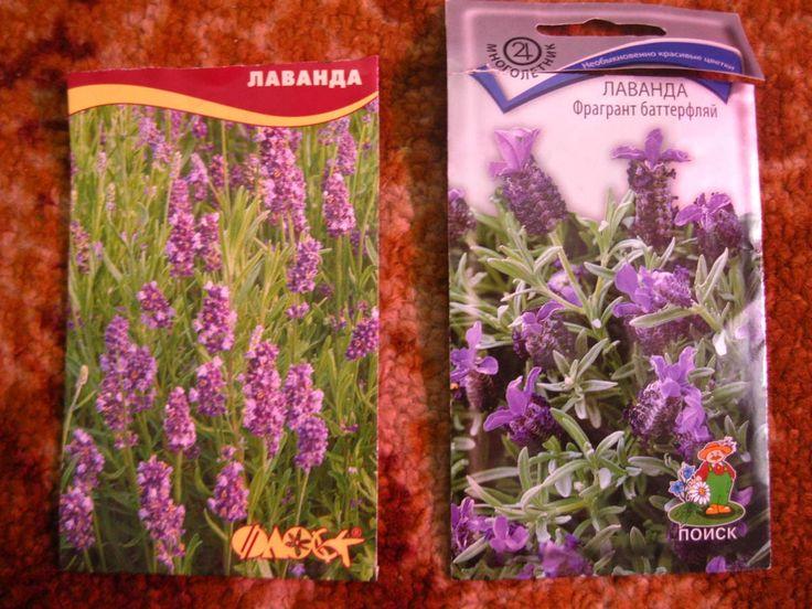 как посадить лаванду семенами