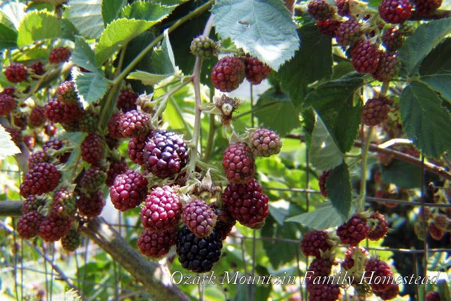 Ozark Mountain Family Homestead:  Canning Blackberries, Blackberry Jam, and Blackberry Smoothie recipes!