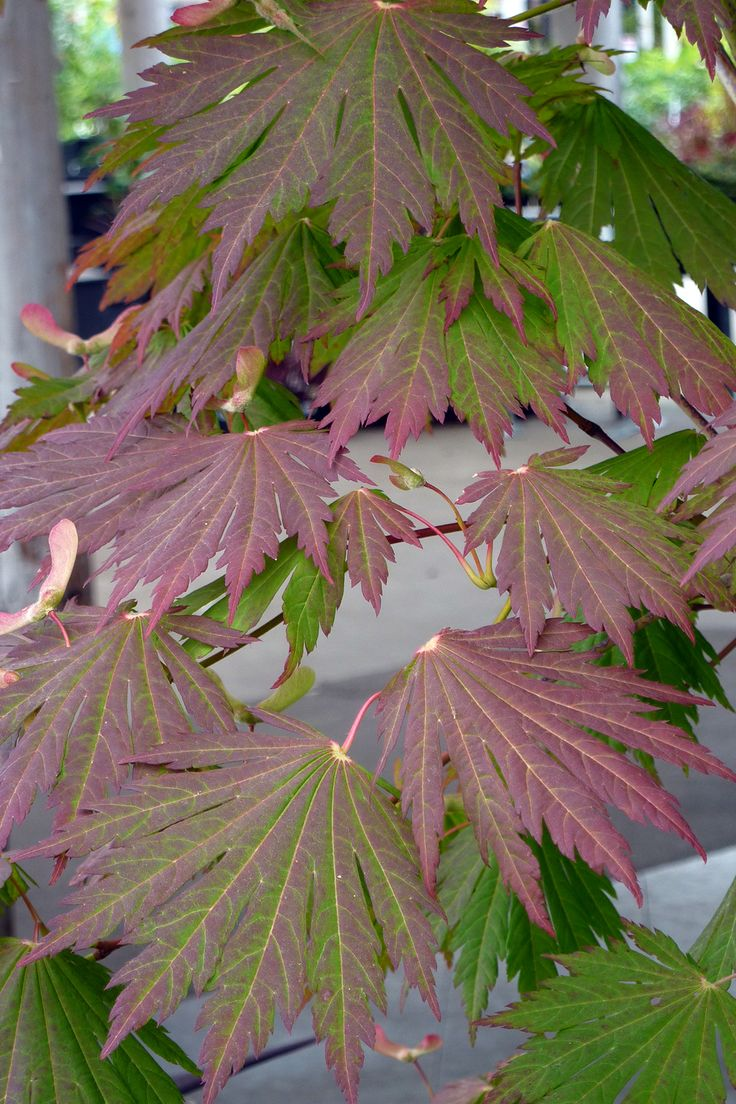 How to care for a fern leaf japanese maple - Rising Sun Japanese Maple There S Nothing Shy And Demure About This Maple Large