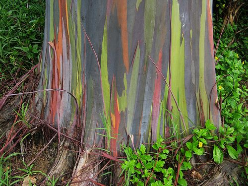 the rainbow eucalyptus--I've been smitten since first sight, Maui 2007