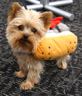Can Yorkies Eat Hot Dogs