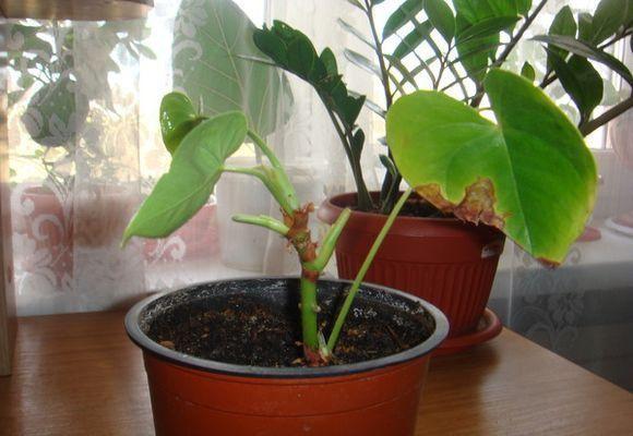 Название «Антуриум» носит целый род вечнозеленых растений, численность которого по разным данным составляет от 500 до 900 разных сортов. Большинство сортов – эпифиты, произрастают на деревьях. Часто в...