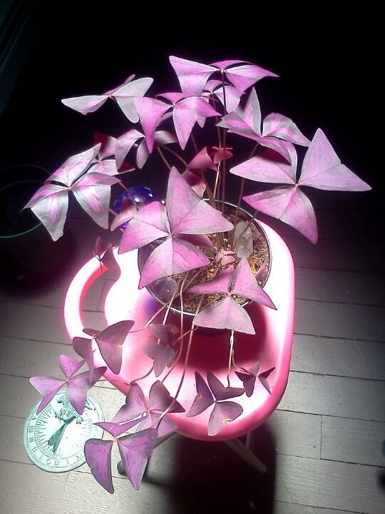 """Purple shamrocks  Falso trébol, púrpura del trébol y el Amor de la planta. Cuenta con tres hojas en forma de corazón púrpura, que tienen cada uno tres lados, que se colocan simétricamente entre sí al final de cada pecíolo (o """"tallo""""). Purple Shamrock house plant"""