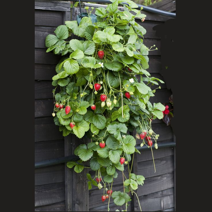 Strawberry Garden Ideas perfect idea for a strawberry patch around my watermelon patch mmm Find This Pin And More On Garden Strawberry Ideas