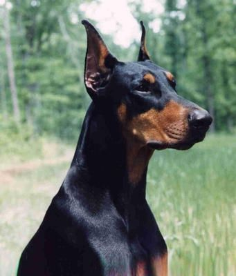 Pretty Doberman!! My neighbor had one named Thor Odinson.