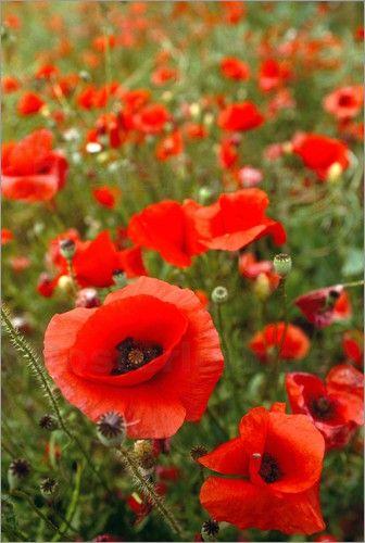 Poster Blick auf eine Wiese mit roten Mohnblumen
