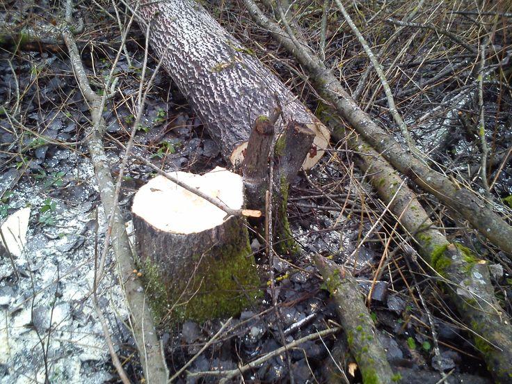 Спил Деревьев  Тосно  Спил деревьев,кустарников на вашем участке.Быстро и Качественно