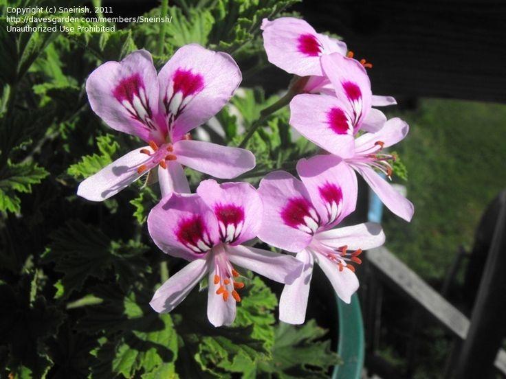 geranium citrosa | PlantFiles: Picture #1 of Citrosa Geranium, Mosquito Plant, Deodorizer ...