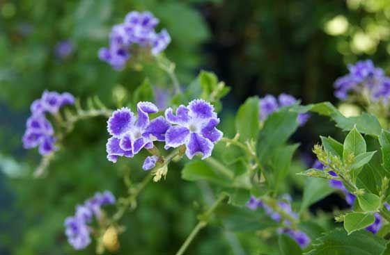 Flores de Duranta repens - Utilizada en jardinería en formación de setos o en grupos aislados, la Duranta repens o Flor celeste es un atractivo arbusto de flor. Esta planta es valorada tanto por la calidad de sus flores como por su apariencia global.