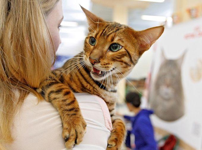 Toyger Cat Breed Information  Vetstreet
