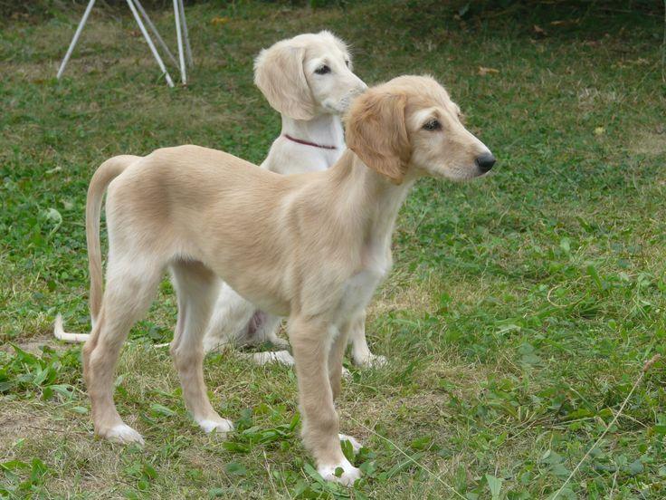 saluki puppies | Saluki puppies - 9 weeks / Štěňátka - 9 týdnů
