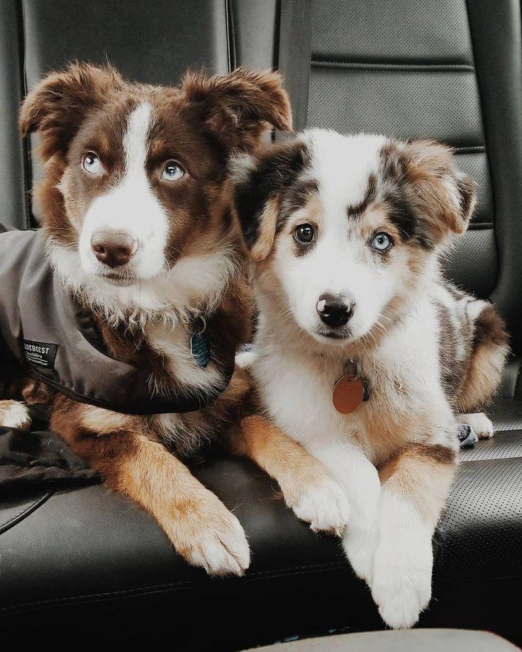 Australian Shepherd Smart Working Dog Cute Animals Cute Dogs