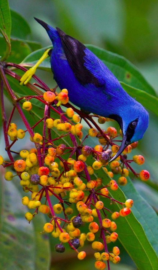 Shining honeycreeper in Costa Rica • photo: Paul Bannick #birdsofcostarica http://www.happycoconutstravelblog.com/blog/bird-nerd-tour