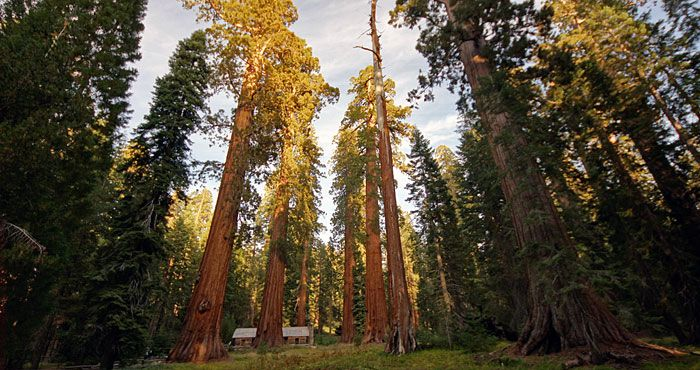 The enormous giant sequoia is the world's most massive tree. Some live to be over 3,000 years old. #jamesfact