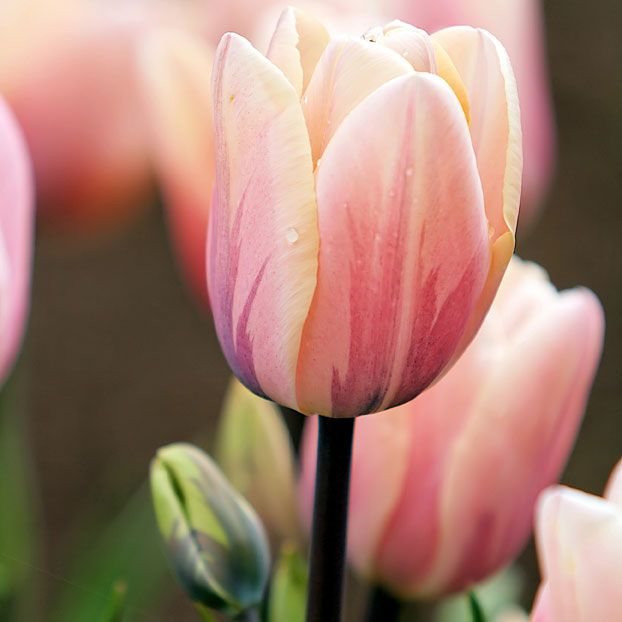 Tulipa 'Sweet love'