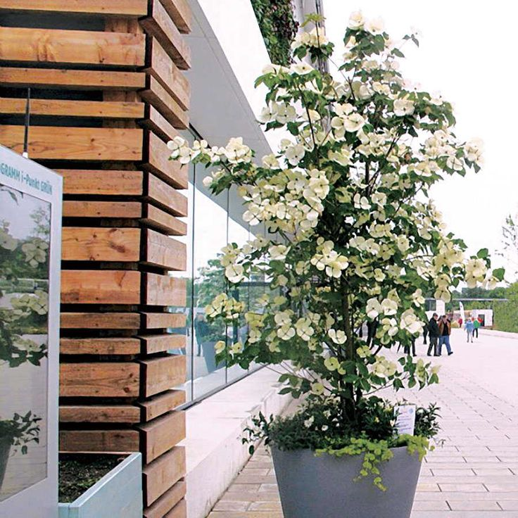 cornus venus jardiner a small trees and shrubs. Black Bedroom Furniture Sets. Home Design Ideas