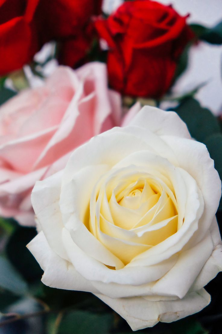 A continuación te mostramos nuestra selección de imprescindibles para regalar el Día de San Valentín: Rosas. Queremos ayudarte a triunfar el Día de los enamorados este año. Es el día de las rosas por excelencia cada año y queremos presentarte nuestros regalos estrella de San Valentín.