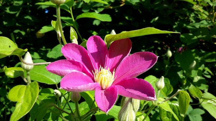 Clematis Alaina - the purest and most vivid pink colour I have ever seen on any clematis. Photo: Dagmara Walkowicz