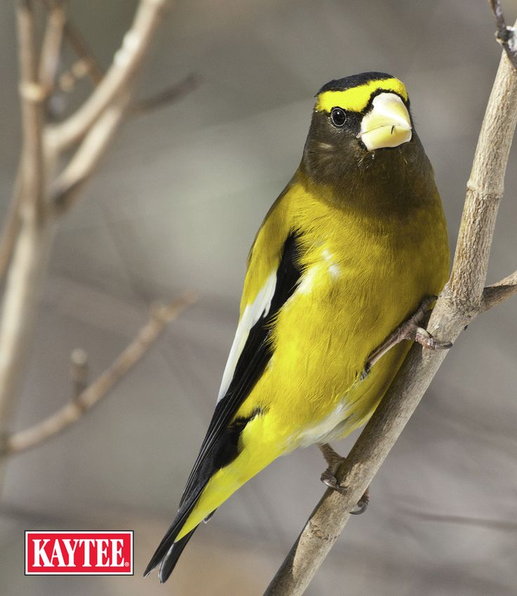 Evening grosbeaks are a rare sighting at feeders! Winter is the most important time to provide them food as natural supplies run low. Put out black oil sunflower seeds for them if you're in the western region of the U.S.