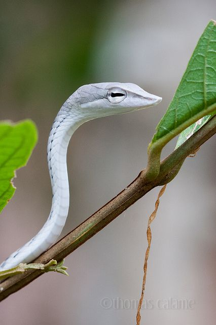 Oriental whip snake by Thomas Calame  Ahaetulla prasina (Boie, 1827) Xe Pian National Biodiversity Conservation Area, Laos, Indochine.