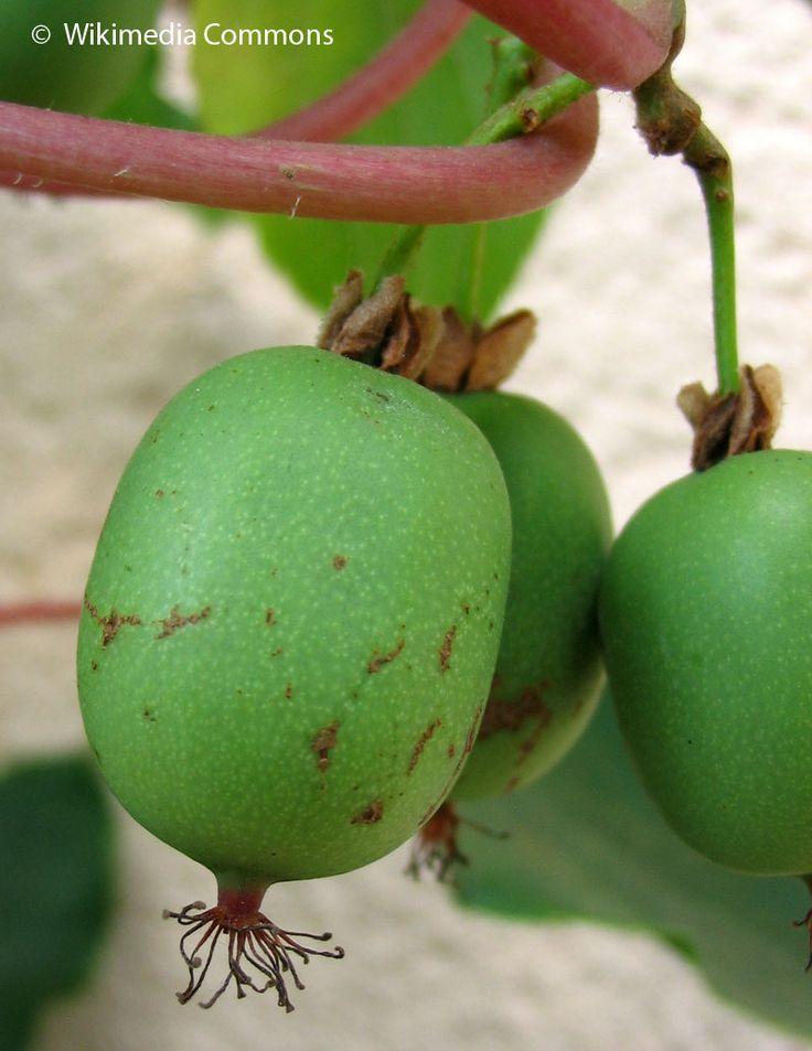 Actinidia arguta (Kiwaï, Kiwi de Sibérie) Graines
