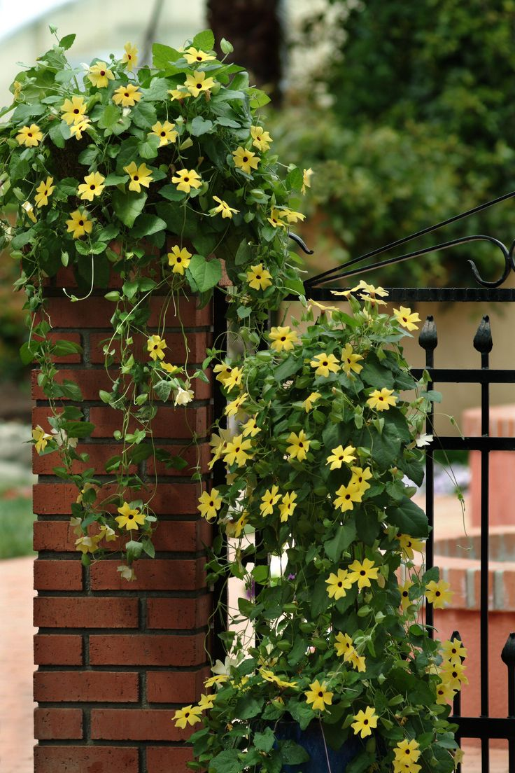Thunbergia Black Eyed Susan Vine Sunny Lemon Star