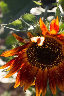 Nature's Colour Palette #sunflowers http://www.aftershocksinteriordecorating.com
