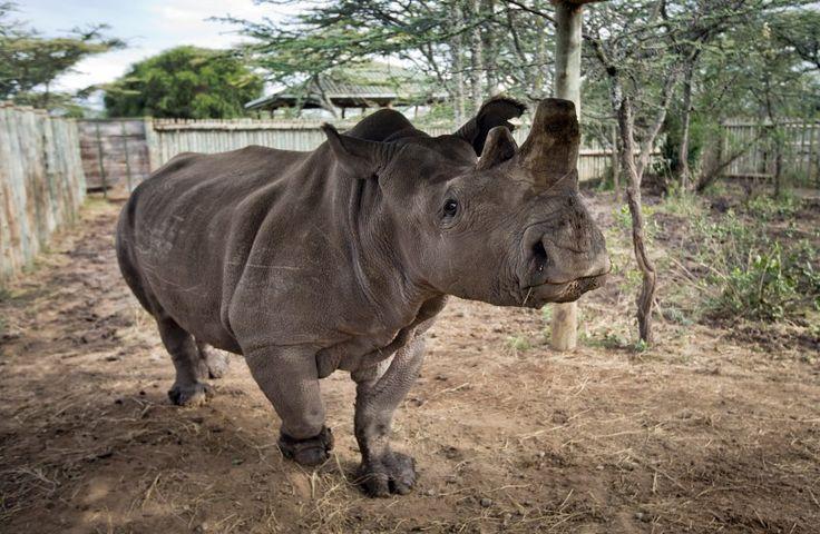 Nördliches Breitmaulnashorn in Kenia: Das abgebildete Weibchen Fatu ist eines von noch vier verbliebenen Exemplaren der Art.