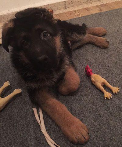 Alman Kurdu _ Alman Çoban Köpeği _ German Shepherd Dog _ Deutsche Schäferhunde - Bilinçli Yavru Seçimi?