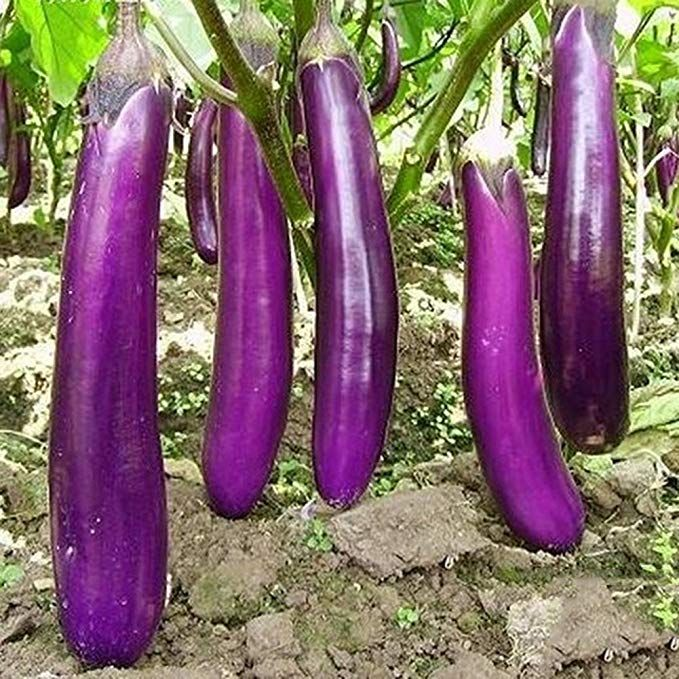 30 seeds new red eggplant SOLANUM-MELOGENA beautiful garden