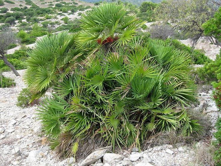 Chamaerops humilis (Palmito)   Árboles y arbustos ...