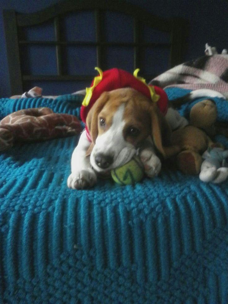 Mi beaglet
