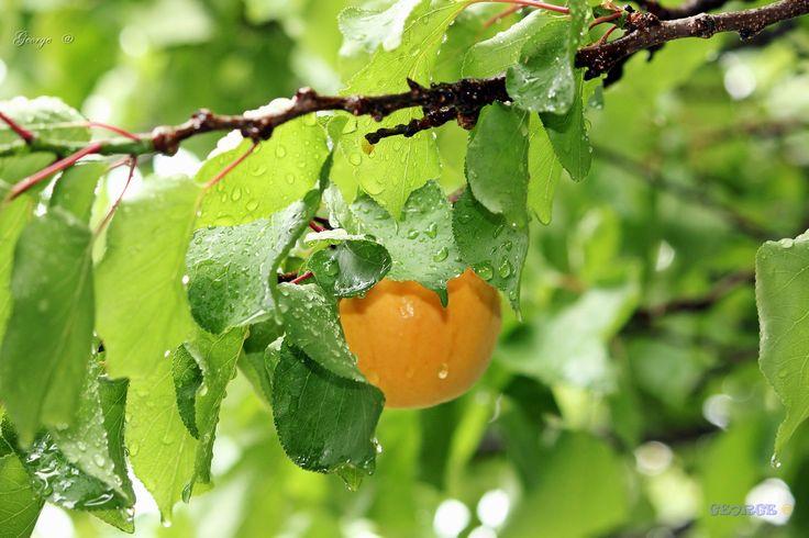https://flic.kr/p/VssiJs | Apricot tree after the summer rain. | Apricot tree after the summer rain. ~~~~ Όταν ανάμεσα από το θρόισμα των βρεγμένων  φύλλων  Ακούς τις σκόρπιες σταγόνες της βροχής  παντού γύρω σιωπή,  σβήνει η μέρα στη βροχή. © George  Eyes @