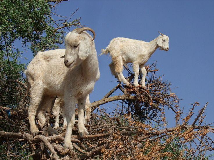 goat-best.jpg (800×600)
