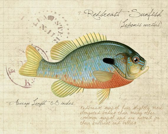 Redbreast Sunfish - 8 x10  limited edition giclee print by Matt Patterson, natural history, cabin decor, fishing print