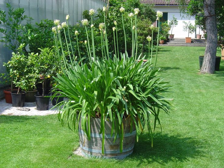 how to grow agapanthus from bulbs