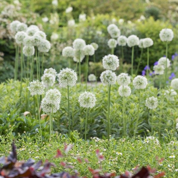 Https Www Fluwel Com Alliums Tahiti Html White Flower Farm Allium Flowers Allium