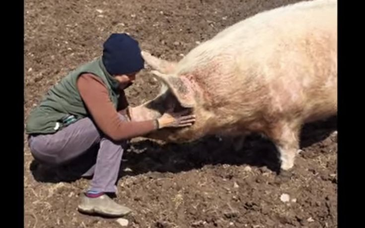 Rescued Pig �Purrs� When She Sees Her Human Best Friend (VIDEO)