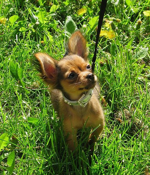 Russian Toy Terrier / Russkiy Toy / Русский той #Puppy #Dog