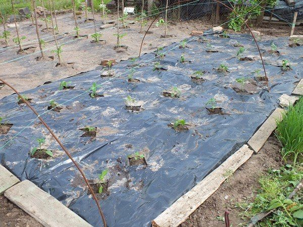 Выращивание перца и баклажана на пленке черной, для ленивых. | Дачный сад и огород