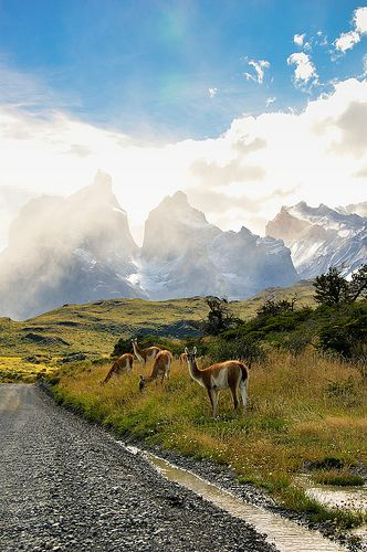 Parque Nacional Torres del Paine (Chile). Los guanacos del parque son muy amistosos, te los puedes encontrar en cada parte del recorrido y a...