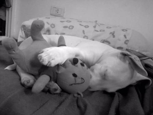Bullterrier + Toy