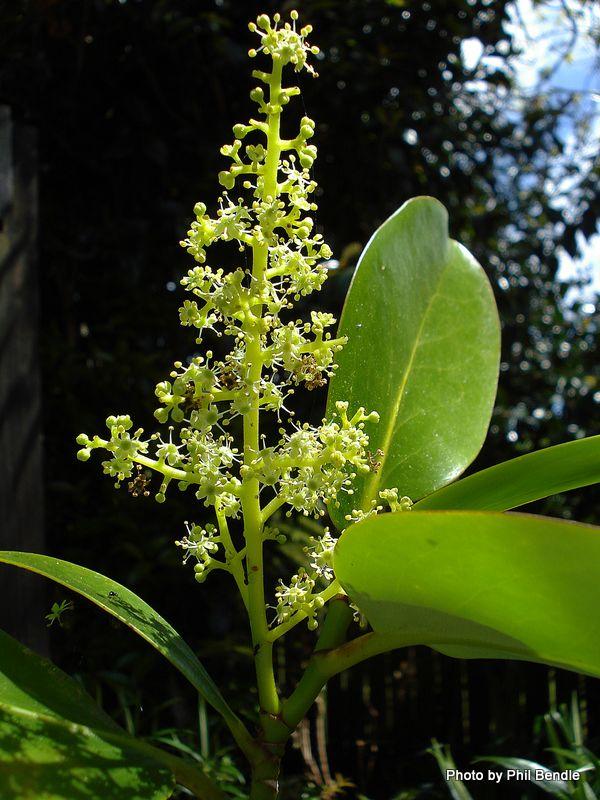 Griselinia littoralis - Broadleaf, Kapuka (male flower)