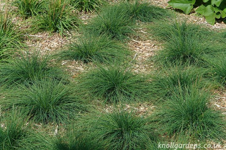 23 best images about drought tolerant ornamental grass on for Low growing perennial grasses