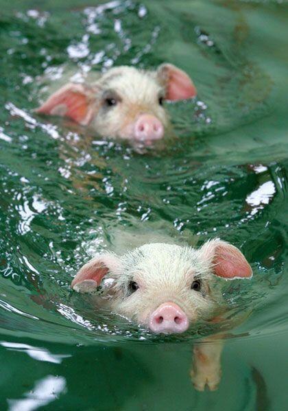 Swimming piglets