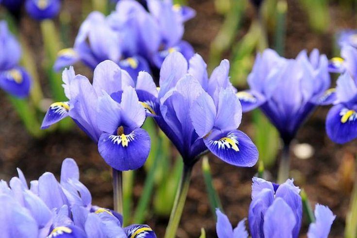 Iris reticulata, Dwarf iris, spring container ideas, Iris Reticulata 'Katharine…